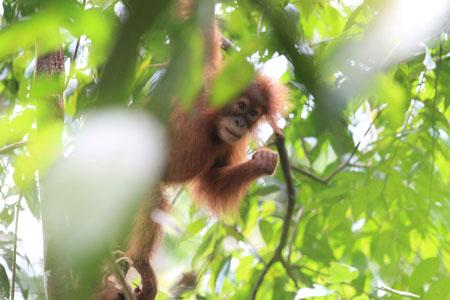 Orang-Utan-Conservation-Programme